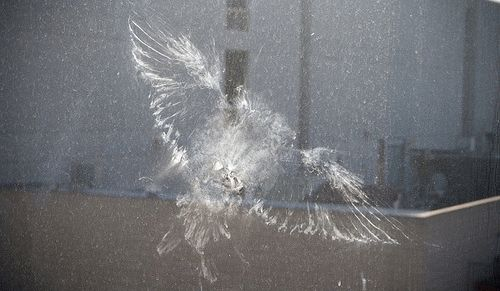 Что значит, если голубь ударился в окно и улетел