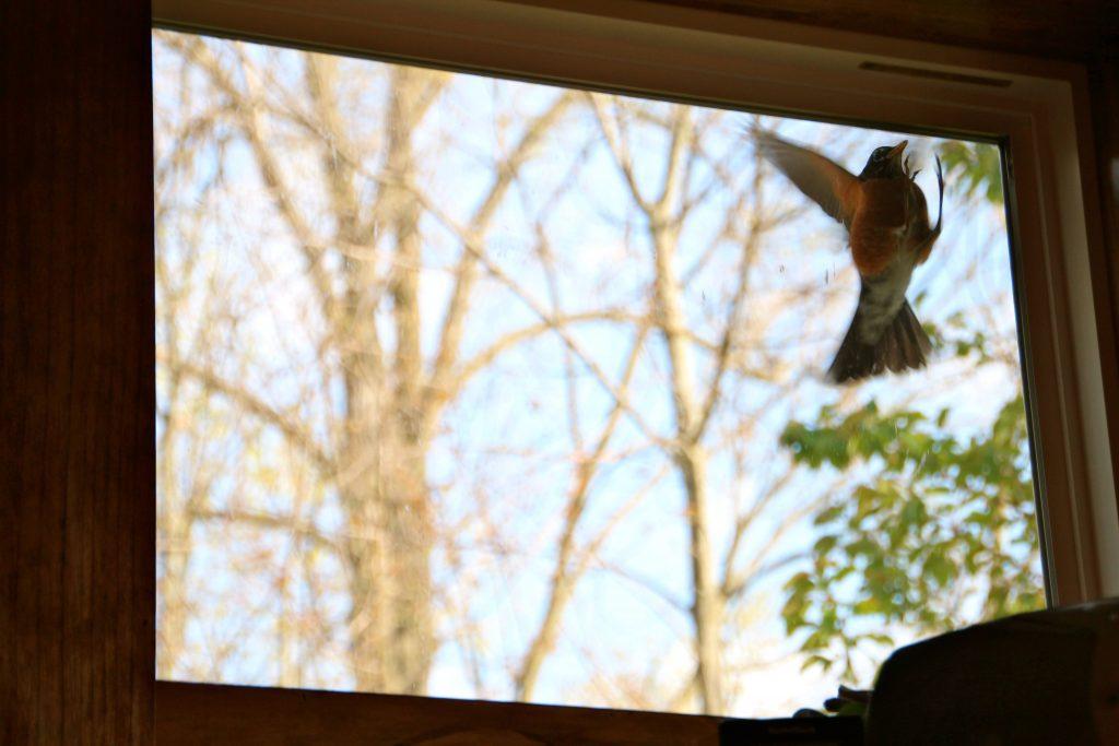 Пташка стучит в окно