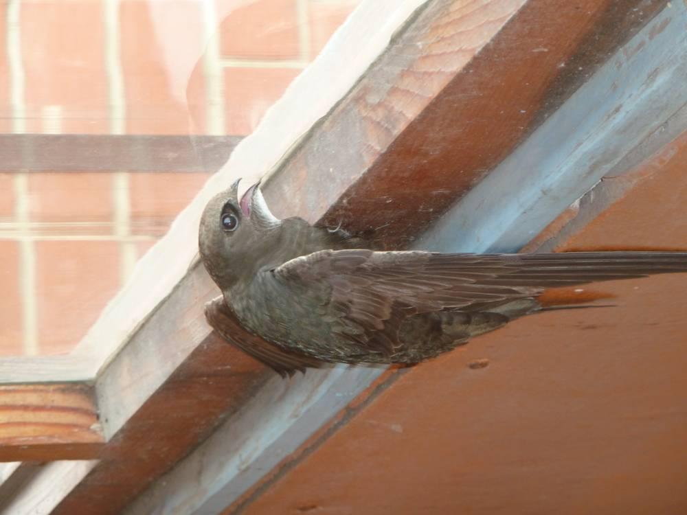 Птенец ласточки залетел в окно